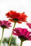 красный цвет цветка померанцовый Стоковое Фото