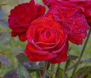красный цвет цветка поднял Стоковые Фото