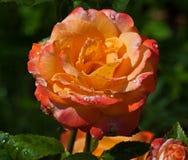 красный цвет цветка поднял Стоковое Фото