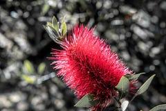 красный цвет цветка предпосылки темный Стоковая Фотография