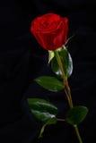 красный цвет цветка предпосылки черный поднял Стоковые Фото
