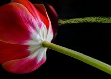 красный цвет цветка предпосылки черный Стоковая Фотография RF