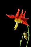 красный цвет цветка предпосылки черный columbine Стоковое Изображение RF