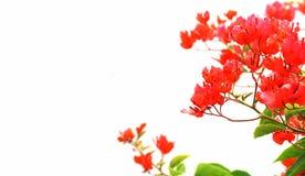 красный цвет цветка предпосылки Стоковая Фотография RF