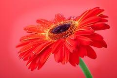 красный цвет цветка предпосылки Стоковые Фото