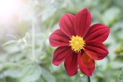 красный цвет цветка предпосылки близкий вверх Стоковые Фото