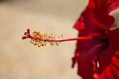 красный цвет цветка предпосылки близкий вверх Стоковое Фото