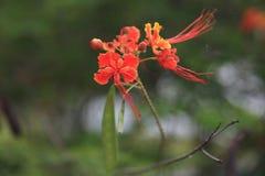 красный цвет цветка предпосылки близкий вверх Стоковое фото RF