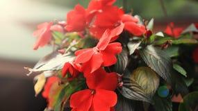 красный цвет цветка предпосылки близкий вверх Стоковые Фотографии RF