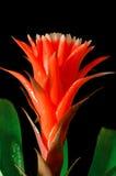 красный цвет цветка предпосылки черный Стоковое Изображение
