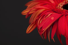 красный цвет цветка предпосылки черный Стоковая Фотография