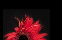 красный цвет цветка предпосылки черный Стоковые Изображения