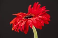 красный цвет цветка предпосылки черный Стоковое Фото