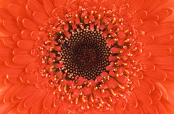 красный цвет цветка совершенный Стоковые Фотографии RF