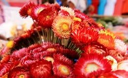 Красный цвет цветка соломы так много букетов Стоковая Фотография RF