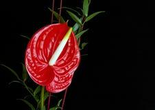 красный цвет цветка фламингоа антуриума стоковое фото