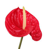красный цвет цветка фламингоа Стоковое Изображение RF