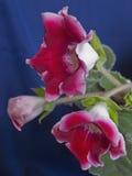 красный цвет цветка Стоковые Изображения
