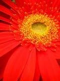красный цвет цветка Стоковое Изображение