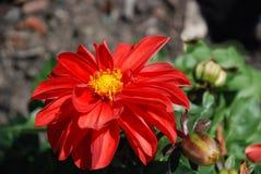 красный цвет цветка Стоковое фото RF