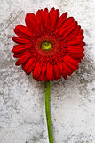красный цвет цветка Стоковые Фото