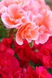красный цвет цветков розовый стоковые изображения rf