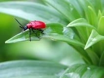 красный цвет черепашки Стоковые Изображения RF