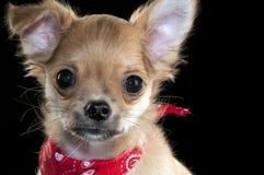 красный цвет щенка портрета чихуахуа пестрого платка милый Стоковая Фотография