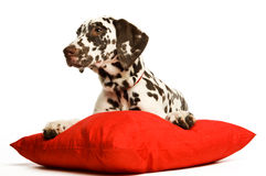красный цвет щенка dalmation ворота Стоковое фото RF