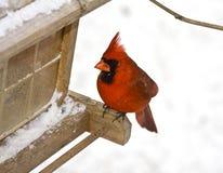 красный цвет ый cardinal Стоковое фото RF