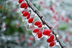 красный цвет ягоды замерли bush, котор стоковое фото rf