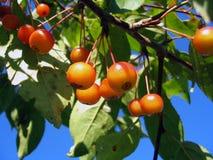 красный цвет ягод свежий Стоковая Фотография RF