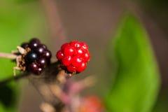 красный цвет ягод черный Стоковая Фотография