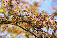 Красный цвет ягоды дерева осени Стоковое фото RF