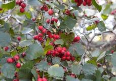 красный цвет ягоды золы Стоковые Фото