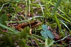 красный цвет лягушки legged Стоковые Изображения RF