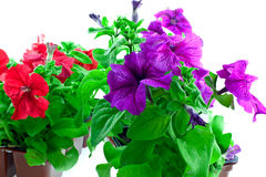 красный цвет ярких баков петуньи пластичных пурпуровый Стоковые Фото