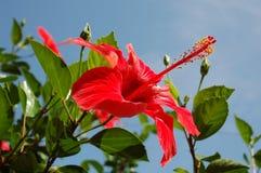 красный цвет 01 hibiscus Стоковая Фотография RF