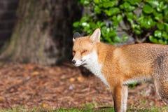 красный цвет 2 лисиц Стоковые Фото