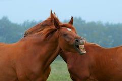 красный цвет 2 лошадей Стоковая Фотография