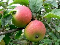 красный цвет 2 яблока Стоковые Изображения