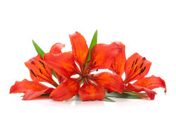 красный цвет 3 лилии Стоковые Фото
