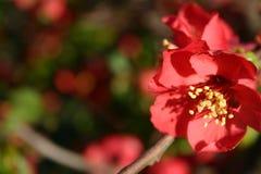 красный цвет 3 цветков Стоковые Фото