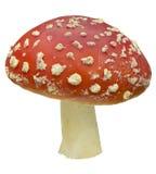 красный цвет amanita стоковые фотографии rf