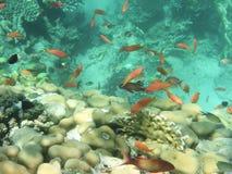 красный цвет angelfish Стоковое фото RF