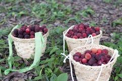 красный цвет bayberry стоковая фотография