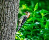Красный цвет bellied woodpecker на стороне дерева Стоковое Фото