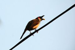 красный цвет bulbul птицы whishkered Стоковое Фото