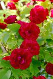 красный цвет bush поднял стоковая фотография rf