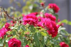 красный цвет bush поднял стоковое фото rf